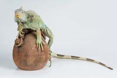 Iguana. Exotic animal on isolated background royalty free stock photos