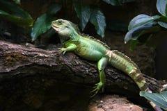 Iguana fotos de archivo