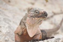 Iguana adulta de Brown que se sienta en roca con la mosca en el hombro que mira la cámara fotos de archivo