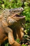 Iguana affamata Fotografie Stock