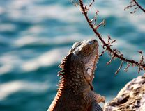 Iguana against a blurred ocean background. Iguana portrait against a blurred blue Ocean background royalty free stock photos