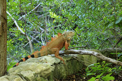 Iguana al grande maya nel Messico Fotografia Stock