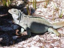 Iguana al sole Fotografie Stock Libere da Diritti