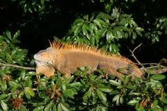 Iguana in albero Immagini Stock Libere da Diritti