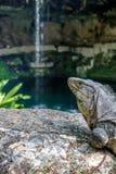 Iguana alla cascata di Cenote Zaci - Valladolid, Yucatan, Messico fotografia stock libera da diritti