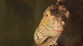 Iguana amarilla que mira en la cámara metrajes