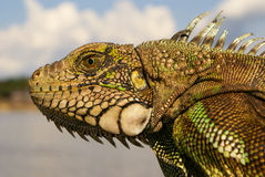 Iguana  Amazon Royalty Free Stock Photos
