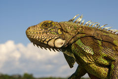 Iguana  Amazon Stock Image