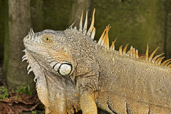 Iguana americana masculina Imagen de archivo libre de regalías