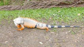 Iguana anaranjada que se mueve en un jardín tropical metrajes