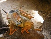 Iguana anaranjada sonriente Fotografía de archivo