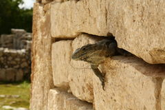 Iguana in ancient maya wall, Mexico Royalty Free Stock Images