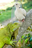 Iguana And Pigeon Stock Images