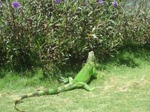 Iguana Anguilla. Reptile Plant Green Royalty Free Stock Images
