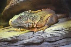 Iguana animals. Lying on the rocks royalty free stock photos