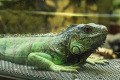 Iguana in aquarium Royalty Free Stock Photo