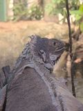 Iguana on an aquarium shedding scales royalty free stock images