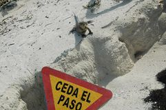 Iguana arrabbiata Immagine Stock Libera da Diritti
