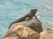 Iguana in Aruba Fotografie Stock