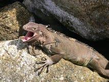 Iguana in Aruba Fotografia Stock