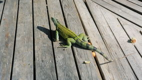 Iguana in Aruba stock footage