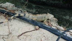 Iguana in Aruba stock video