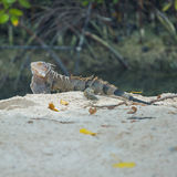 Iguana in Aruba beach. One happy island Stock Photos