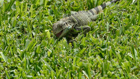 Iguana on Aruba Royalty Free Stock Image