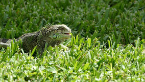 Iguana on Aruba Royalty Free Stock Photography