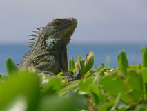 Iguana in Aruba Stock Image