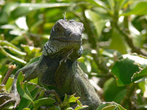 Iguana in Aruba. Lizard in South Caribbean island Aruba royalty free stock photography