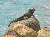 Iguana in Aruba Stock Photos