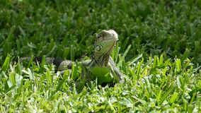Iguana on Aruba Stock Photography