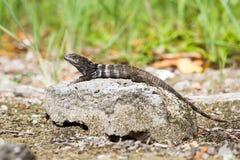iguana atada espinosa en roca foto de archivo