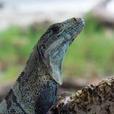 Iguana atada espinosa negra Ctenosaura Similis imágenes de archivo libres de regalías
