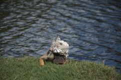 The iguana ate my golf ball Stock Images