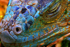Iguana azul Fotos de Stock Royalty Free