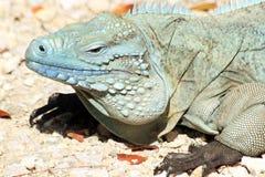 Iguana azul fotografía de archivo