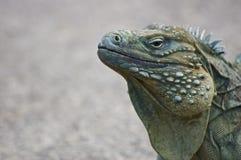 Iguana azul (lewisi de Cyclura) Imagenes de archivo