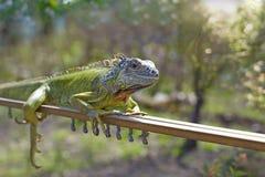 An iguana Stock Photos