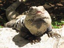 Iguana basking in the Sun Stock Image