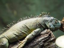 Iguana. A iguana basking in the sun Royalty Free Stock Photography