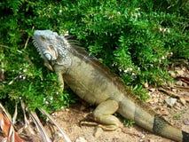 Iguana Basking in the sun Stock Photo