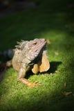 Iguana basking in the sunlight Stock Image