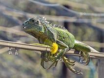 Iguana basks in the sun Stock Photo