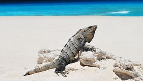 Iguana on the beach. Iguana basking on the sunny beach in Cancun Stock Photos