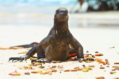 Iguana on the beach Stock Photography