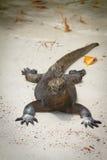Iguana on the beach Royalty Free Stock Images