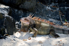 Iguana at the Beach. An Iguana lounging at the beach on the island of St Thomas in the US Virgin Islands Royalty Free Stock Images