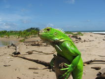 Iguana at Beach. This lone Iguana is out sunning himself but watching closely for danger Royalty Free Stock Images